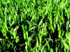 Cornfield closeup