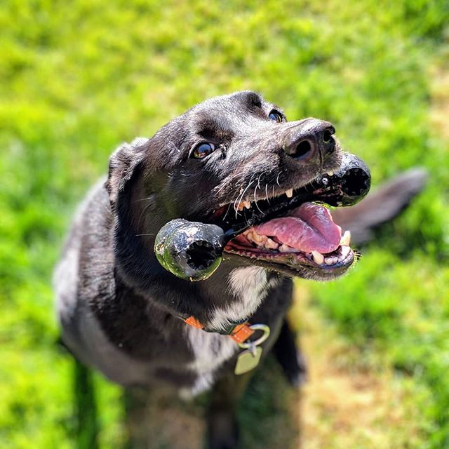 Let's play fetch!  #borador #boradorsofinstagram #bordercollie #labrador #bordercolliesofinstagram #labradorsofinstagram #dogsofinstagram #dog #petphotography #pixel2portrait #pixel2xlphotography #photography #photographer #amateurphotographer #amateurphotography #shelterdog #shelterdogsofinstagram #rescuedog #rescuedogsofinstagram