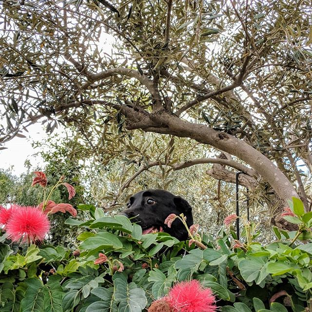 I'm gonna climb up on the wall. Made it! Umm... Maybe not such a good idea. Gonna get back down!  #bordercollie #labrador #borador #boradorsofinstagram #shelterdog #shelterdogsofinstagram #rescuedog #rescuedogsofinstagram #bordercolliesofinstagram #labradorsofinstagram #mutt #muttsofinstagram #dog #doggo #petsofinstagram #pet #petphotography