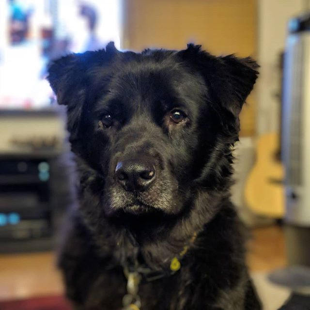 So serious.  #chowtriever #chowchow #flatcoatedretriever #retriever #doggo #dogsofinstagram #mutt #muttsofinstagram #shelterdogsofinstagram #shelterdog #rescuedog #rescuedogsofinstagram #dog #petphotography #petsofinstagram #pixel2portrait #pixel2xlphotography #pet #fluffy #floof #fluffy