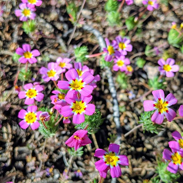 Pretty pink flowers on a trail at the Sequoia National Park.  #sequoianationalpark #nationalpark #nature #flowers #naturephotography #pixel2portrait #pixel2xlphotography #amateurphotography #amateurphotographer #photographer #photography