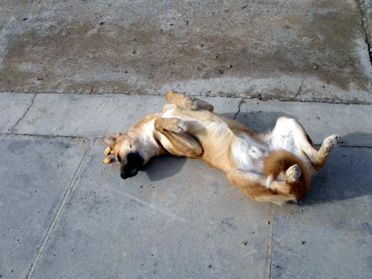 Iraqi Doggie